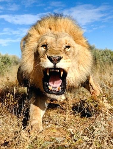roaring lion.jpg